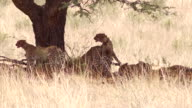 Cheetah Family in the Kalahari video