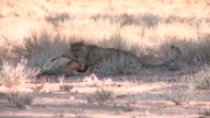 Cheetah feeding on a killed Springbok video