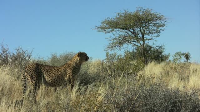 Cheetah - Gepard3 video