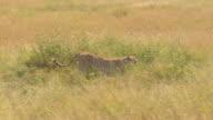 CLOSE UP: Cheetah hiding in tall grass running along safari jeep game driving video