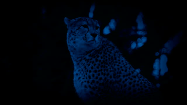 Cheetah In Jungle At Night video