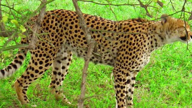 Cheetah on the grass video