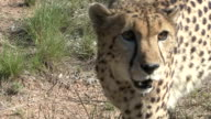 Cheetah on the Prowl video