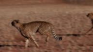 Cheetah running side on to camera in slow motion video
