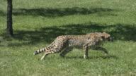 Cheetah running video