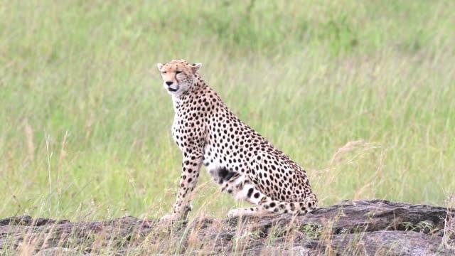 Cheetah video