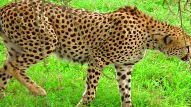 Cheetah walking on grass video