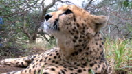 Cheetah yawning and rolling over playfully video
