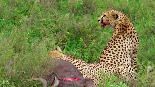 Cheetahs eating pray video