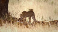 Cheetahs feeding on a springbok video