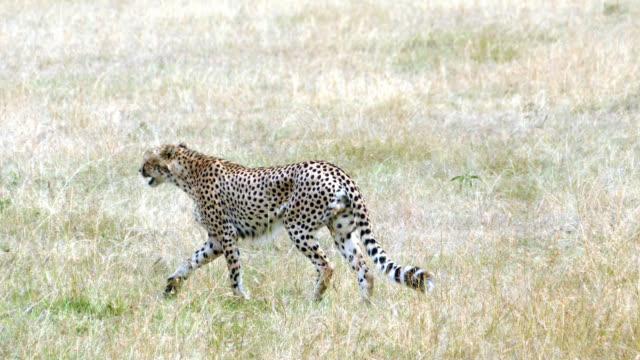 Cheetahs Hunting / preying video
