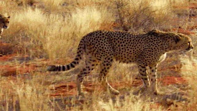 Cheetahs in red desert video