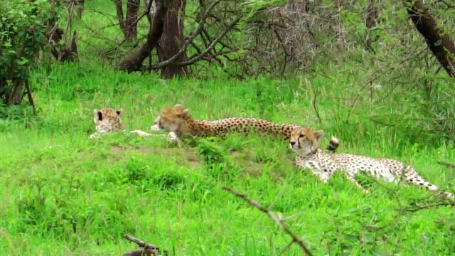 Cheetahs resting on grass video