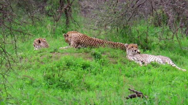 Cheetahs with mother video