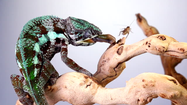 Chemeleon Slow Motion video