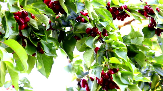Cherries on a Cherry Tree video