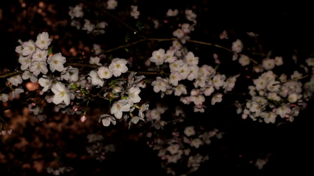 Cherry at night middle shot shallow focus at Inokashira park video