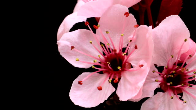 Cherry blooming flowers video