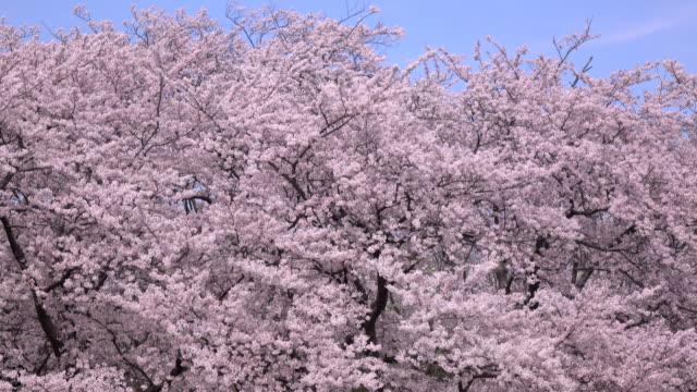 cherry blossom 3-bulk 4 -4K- video
