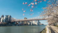 Cherry Blossom at Roosevelt Island video