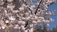 cherry blossom blooms zoom out video