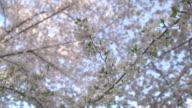 Cherry Blossom Branch video