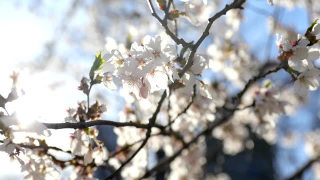 cherry blossom Central Park video