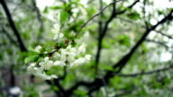 Cherry blossom. Cherry flower on wind. Spring flower blooms on cherry tree video