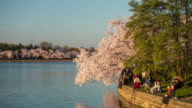 Cherry Blossom Festival in Washington, DC video
