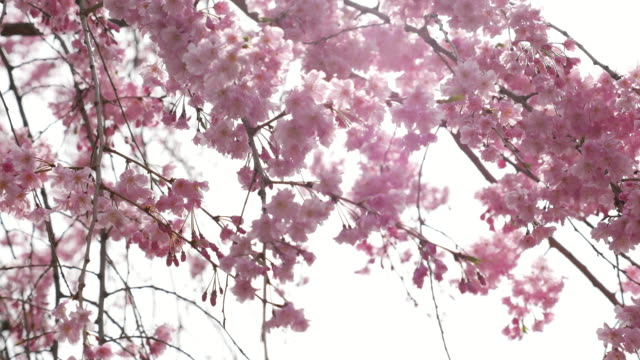 DS:Cherry blossom flowers ,Japan video
