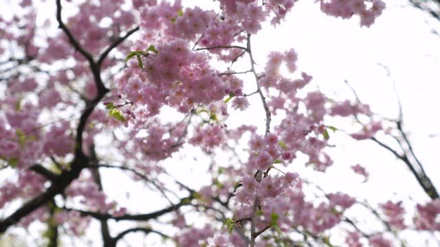 Cherry blossom flowers ,Japan video