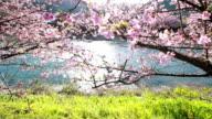 Cherry blossom flowers Japanese Sakura of Kawazu video