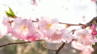 Cherry blossom flowers on a beautiful sunny day video