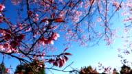 cherry blossom flowers video