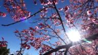 cherry blossom flowers video