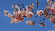 Cherry Blossom - HD Video video
