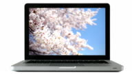 Cherry blossom image on pc screen. video