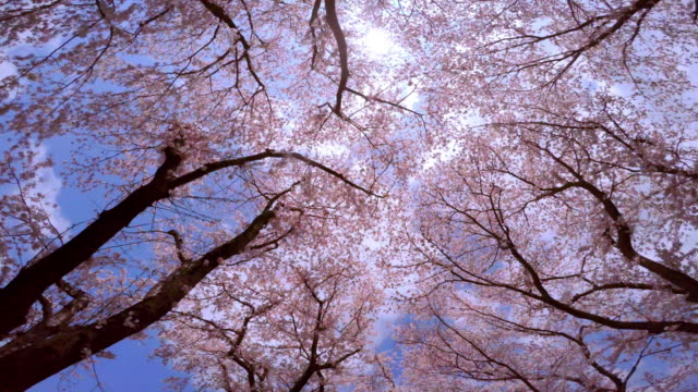 Cherry blossom in full bloom -4K- video