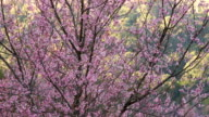 Cherry blossom in the wind video