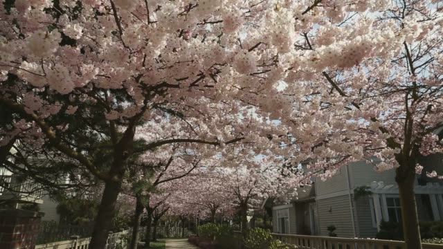 Cherry Blossom Path, camera move video