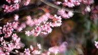 Cherry blossom, sakura flowers video
