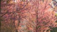 Cherry Blossom Sakura Landscape video