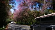 Cherry Blossom sakura on scenic road , 4k(UHD) video