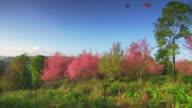 Cherry Blossom Sakura Series video