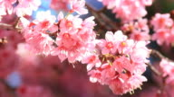 Cherry Blossom, Sakura video