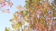 Cherry Blossom Sakura video