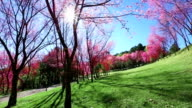 Cherry Blossom, Sakura video