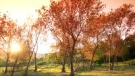 MONTAGE Cherry Blossom Sakura video