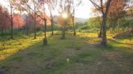 Cherry Blossom Sakura with Sunset Sunrise video