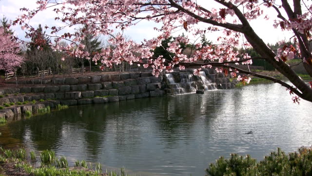 Cherry Blossom Tree and Waterfall video